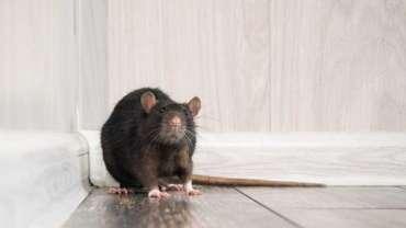 rats-maison